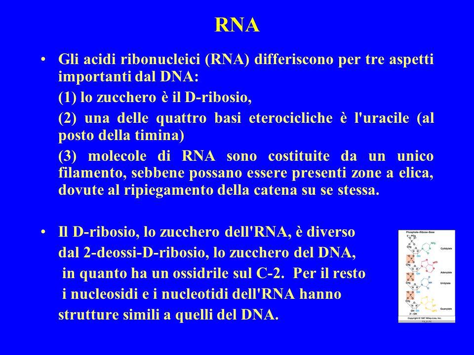 RNA Gli acidi ribonucleici (RNA) differiscono per tre aspetti importanti dal DNA: (1) lo zucchero è il D-ribosio,