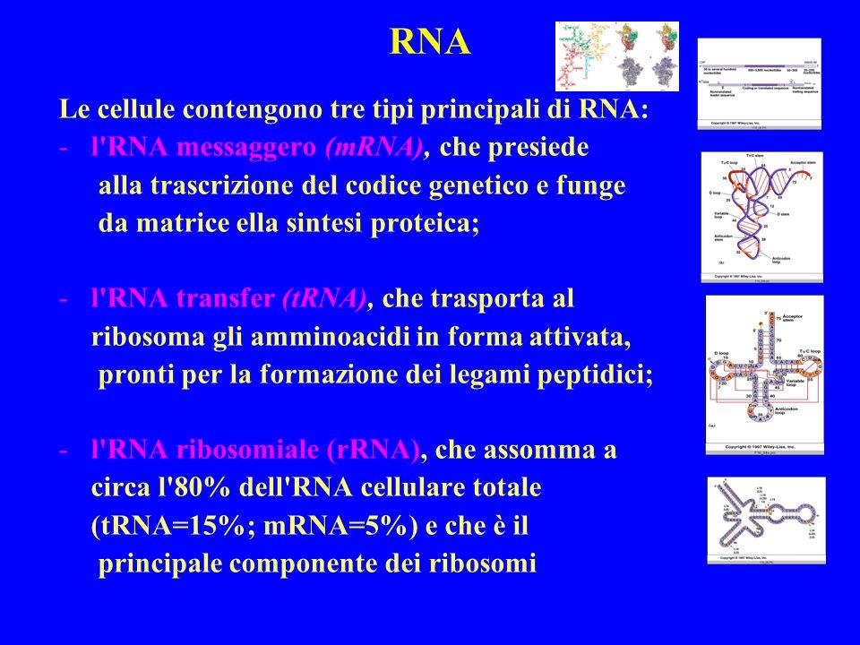 RNA Le cellule contengono tre tipi principali di RNA:
