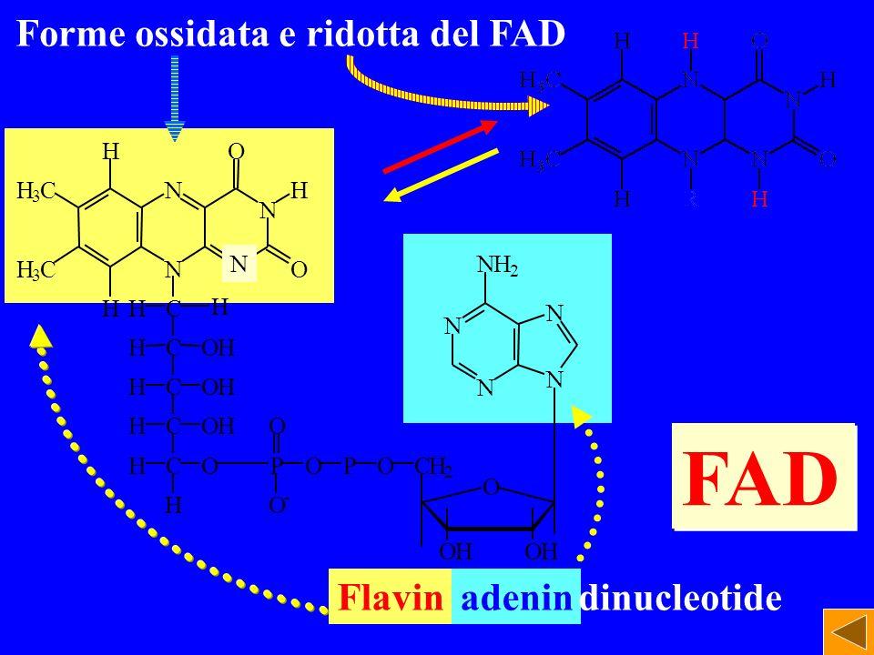 FAD Forme ossidata e ridotta del FAD Flavin adenin dinucleotide H O H