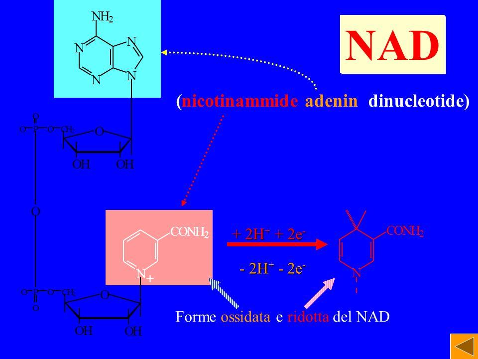 NAD ( dinucleotide) nicotinammide adenin + 2H+ + 2e- - 2H+ - 2e-