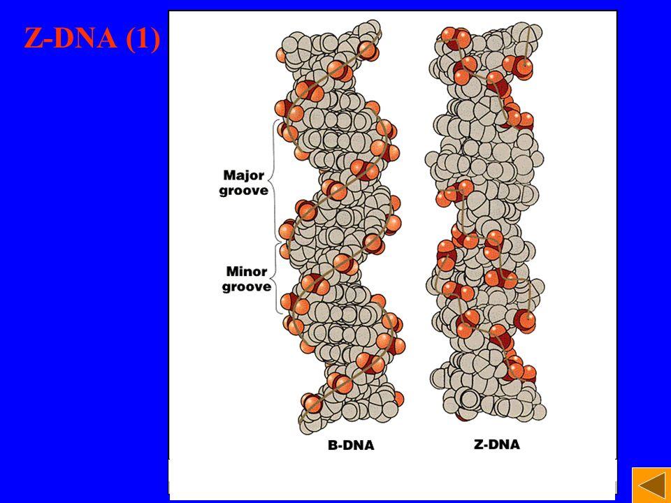 Z-DNA (1)