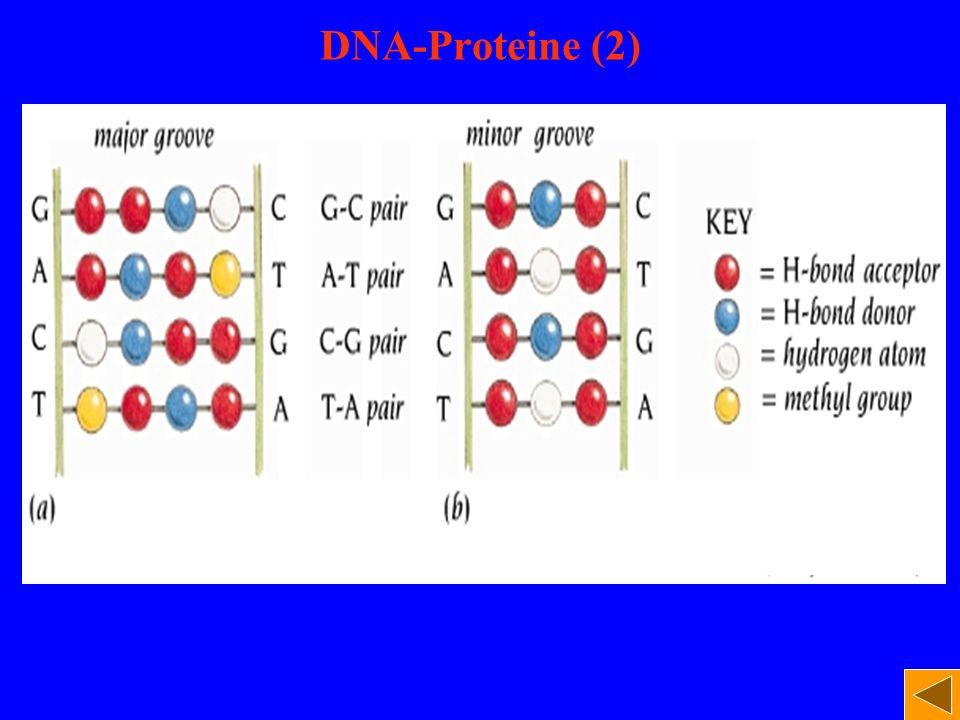 DNA-Proteine (2)