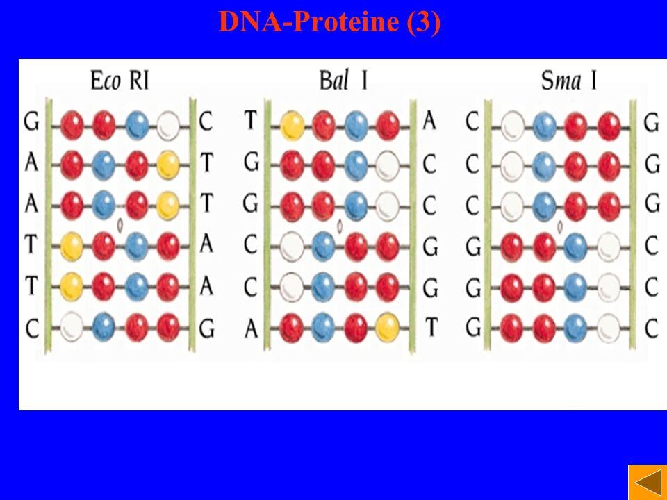 DNA-Proteine (3)