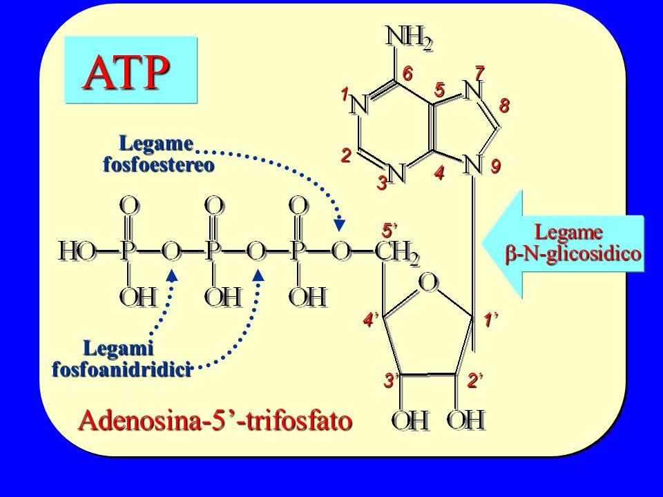 Adenosina-5'-trifosfato