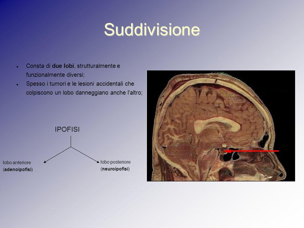 Suddivisione Consta di due lobi, strutturalmente e funzionalmente diversi;