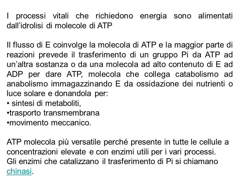 I processi vitali che richiedono energia sono alimentati dall'idrolisi di molecole di ATP