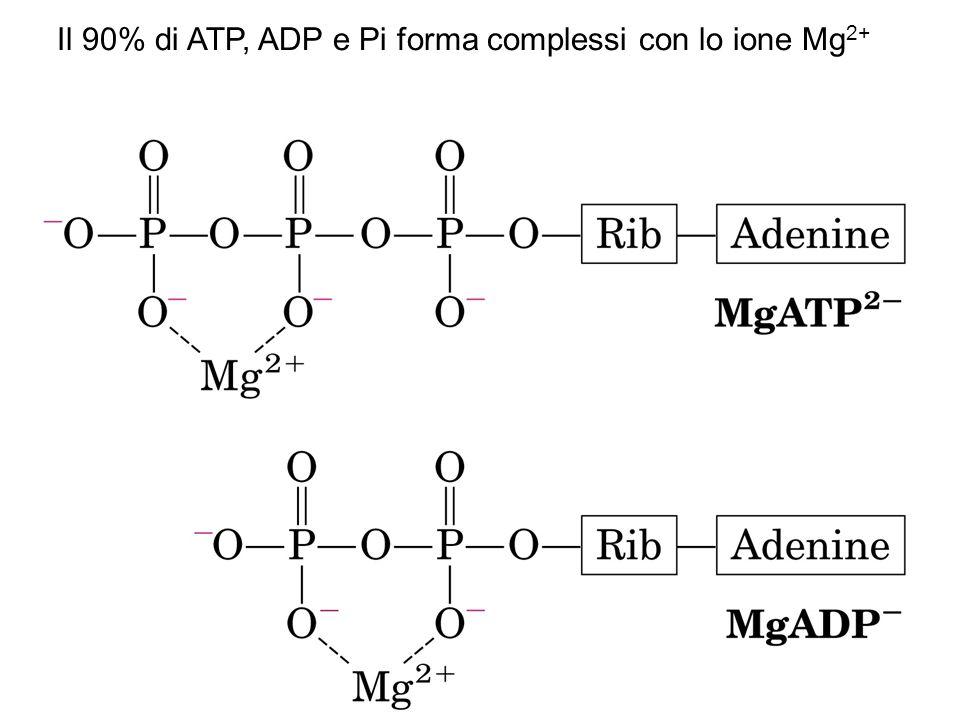 Il 90% di ATP, ADP e Pi forma complessi con lo ione Mg2+