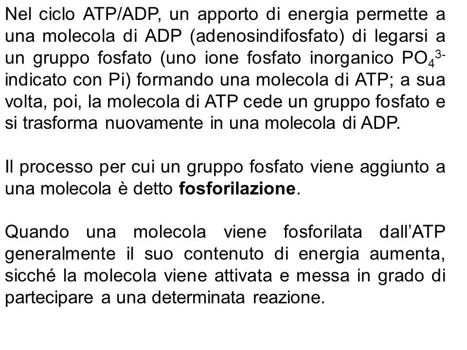 Nel ciclo ATP/ADP, un apporto di energia permette a una molecola di ADP (adenosindifosfato) di legarsi a un gruppo fosfato (uno ione fosfato inorganico PO43- indicato con Pi) formando una molecola di ATP; a sua volta, poi, la molecola di ATP cede un gruppo fosfato e si trasforma nuovamente in una molecola di ADP.