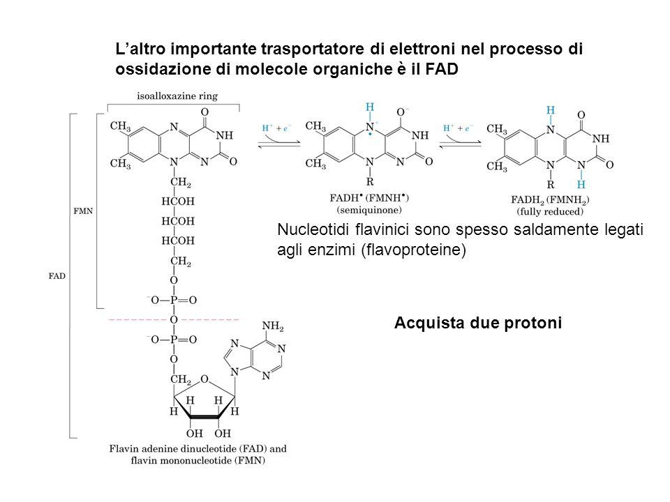 L'altro importante trasportatore di elettroni nel processo di ossidazione di molecole organiche è il FAD