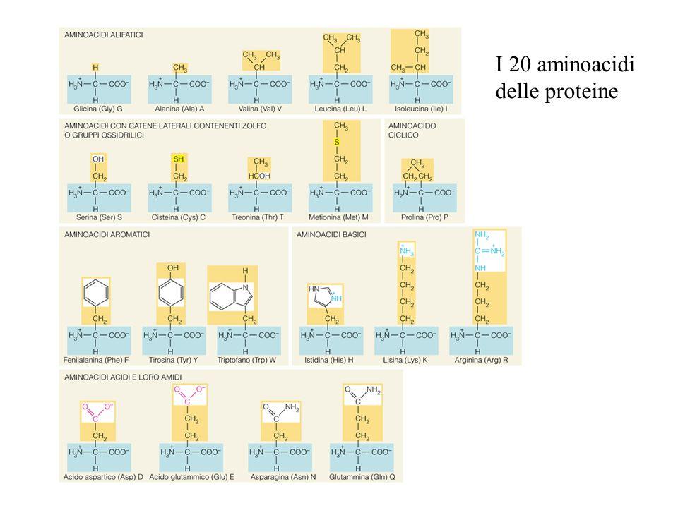 I 20 aminoacidi delle proteine