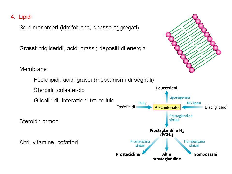 4. Lipidi Solo monomeri (idrofobiche, spesso aggregati) Grassi: trigliceridi, acidi grassi; depositi di energia.