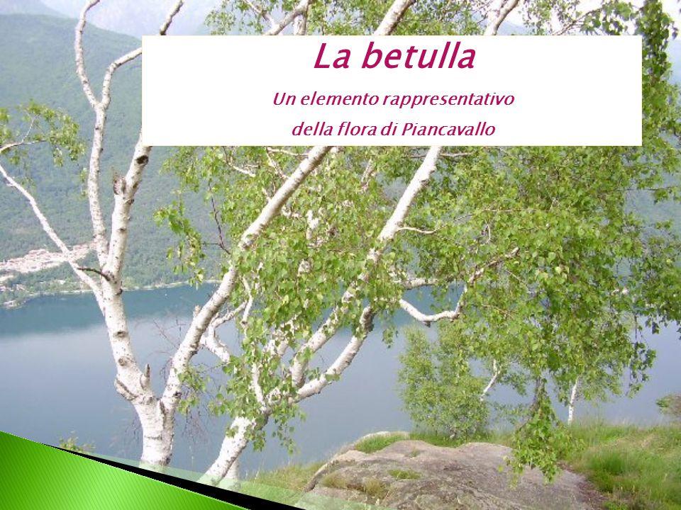 Un elemento rappresentativo della flora di Piancavallo
