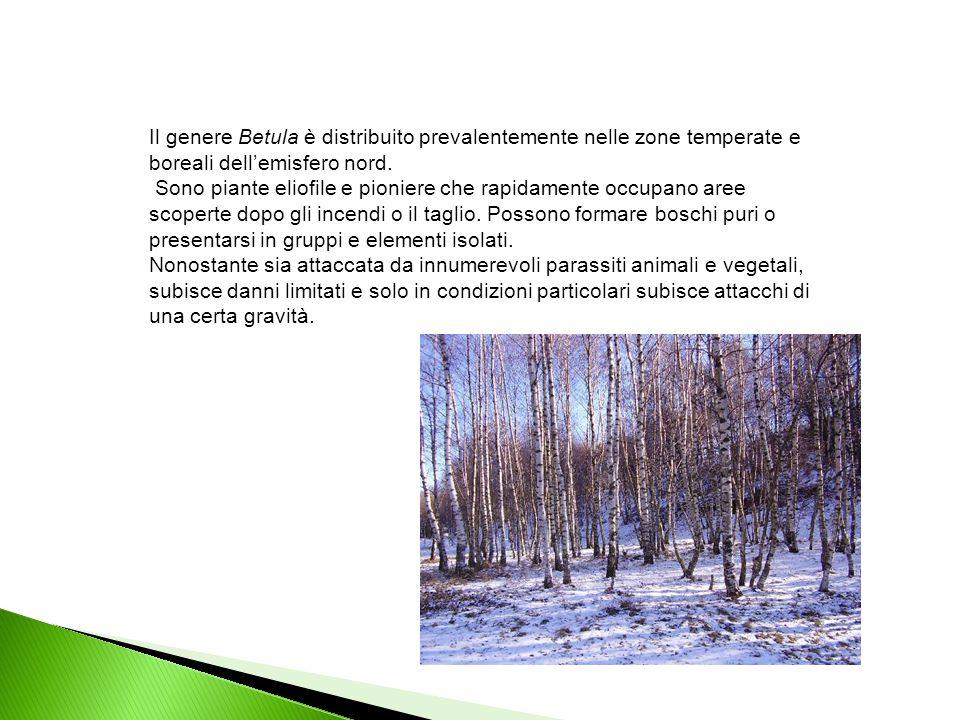 Il genere Betula è distribuito prevalentemente nelle zone temperate e boreali dell'emisfero nord.