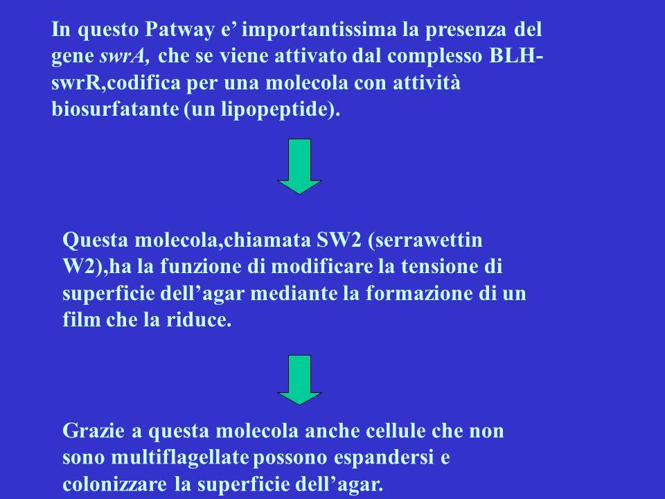 In questo Patway e' importantissima la presenza del gene swrA, che se viene attivato dal complesso BLH-swrR,codifica per una molecola con attività biosurfatante (un lipopeptide).