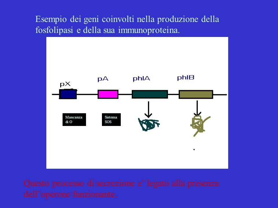 Esempio dei geni coinvolti nella produzione della fosfolipasi e della sua immunoproteina.