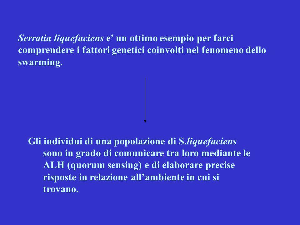Serratia liquefaciens e' un ottimo esempio per farci comprendere i fattori genetici coinvolti nel fenomeno dello swarming.