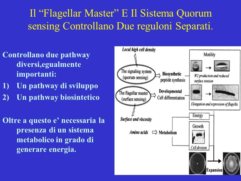 Il Flagellar Master E Il Sistema Quorum sensing Controllano Due reguloni Separati.