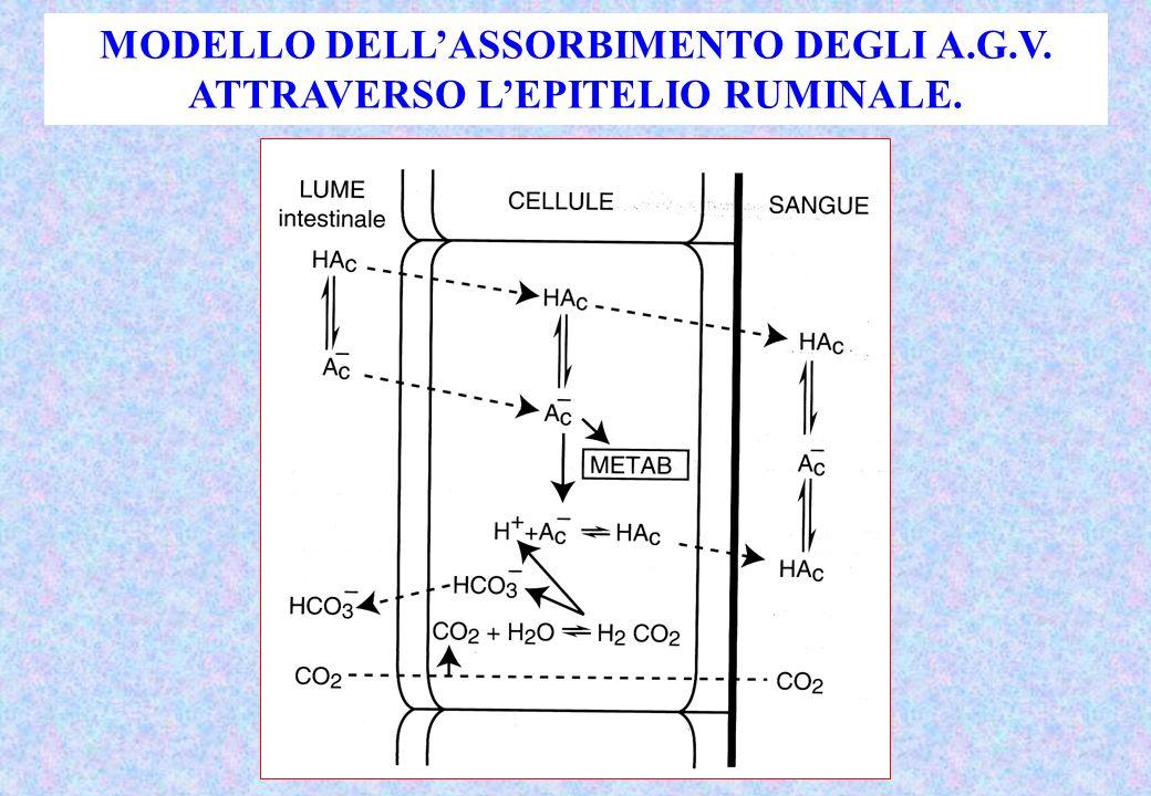 MODELLO DELL'ASSORBIMENTO DEGLI A.G.V. ATTRAVERSO L'EPITELIO RUMINALE.