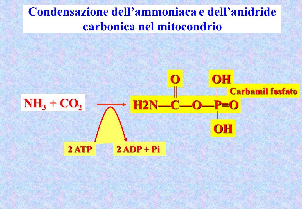 Condensazione dell'ammoniaca e dell'anidride carbonica nel mitocondrio