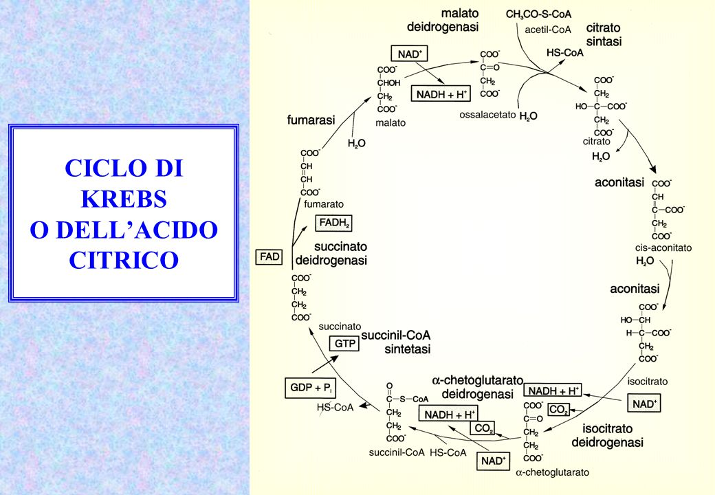 CICLO DI KREBS O DELL'ACIDO CITRICO