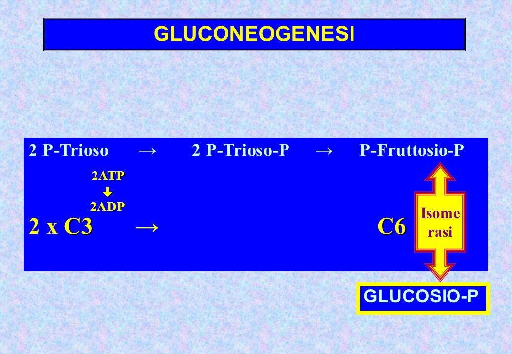 2ATP 2 x C3 → C6 GLUCONEOGENESI