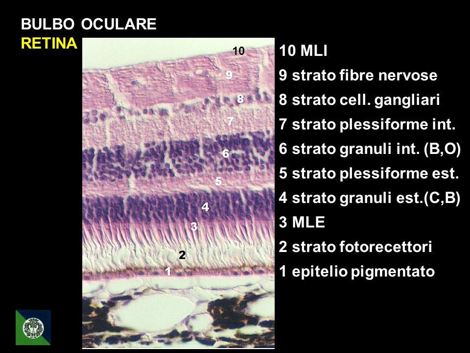 7 strato plessiforme int. 6 strato granuli int. (B,O)