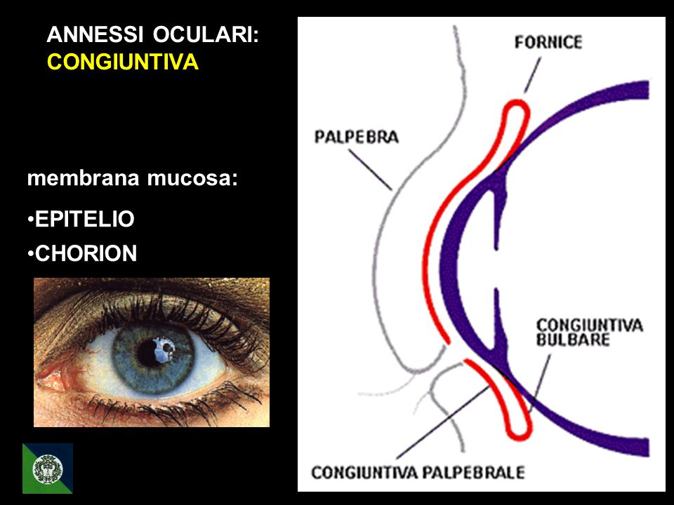 ANNESSI OCULARI: CONGIUNTIVA membrana mucosa: EPITELIO CHORION