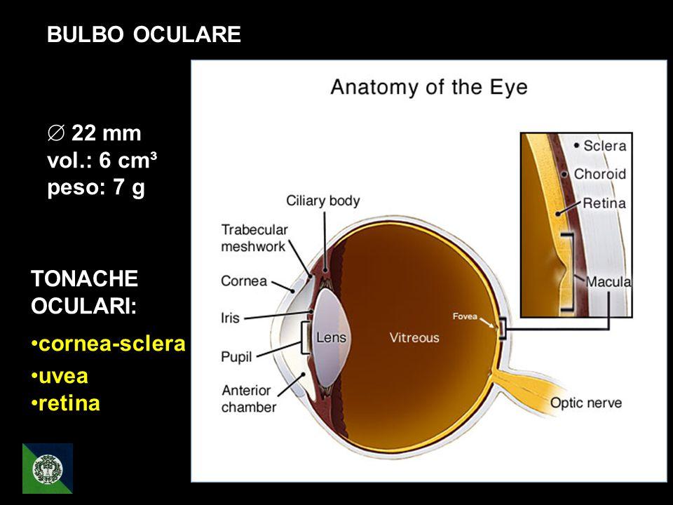 BULBO OCULARE 22 mm vol.: 6 cm³ peso: 7 g TONACHE OCULARI: cornea-sclera uvea retina