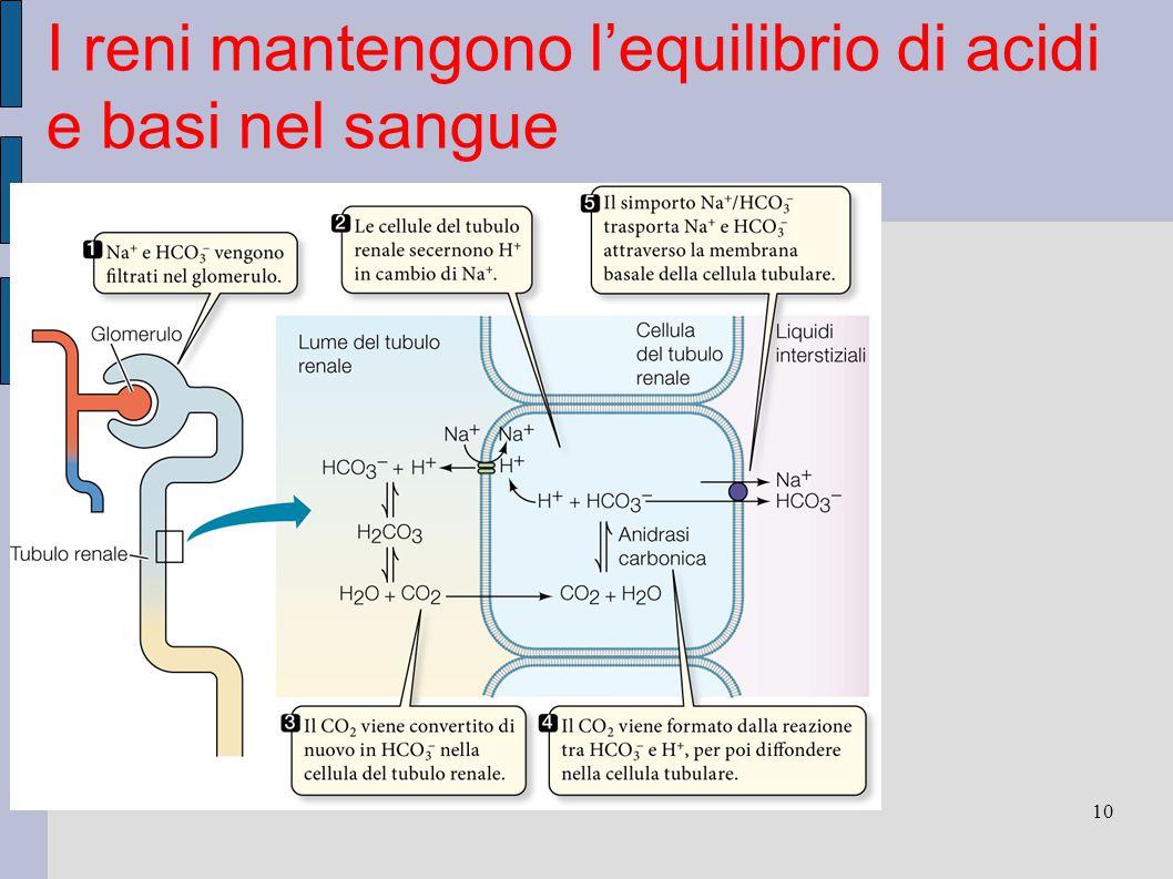 I reni mantengono l'equilibrio di acidi e basi nel sangue