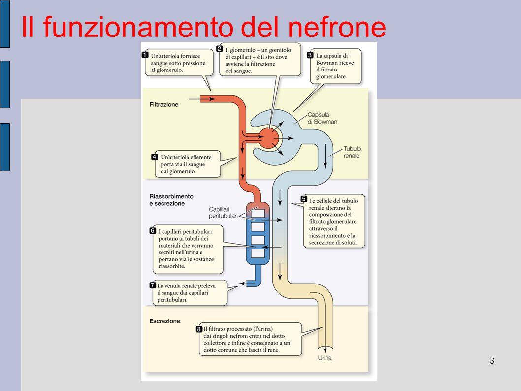 Il funzionamento del nefrone