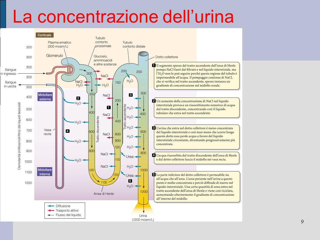 La concentrazione dell'urina