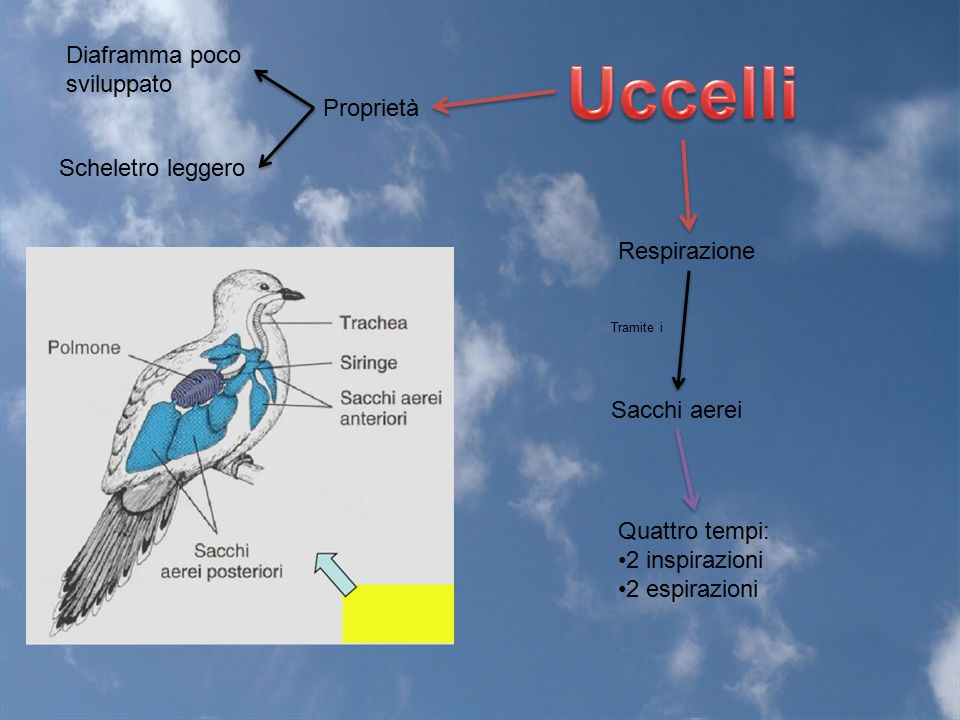 Uccelli Diaframma poco sviluppato Proprietà Scheletro leggero