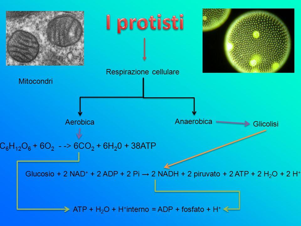 I protisti C6H12O6 + 6O2 - -> 6CO2 + 6H20 + 38ATP
