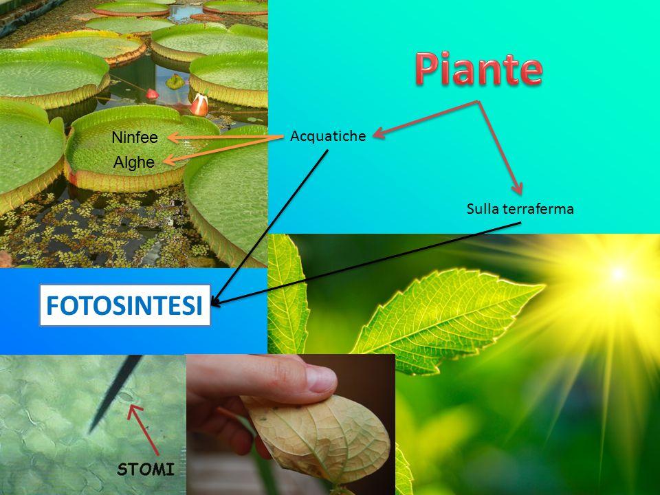 Piante Ninfee Acquatiche Alghe Sulla terraferma FOTOSINTESI