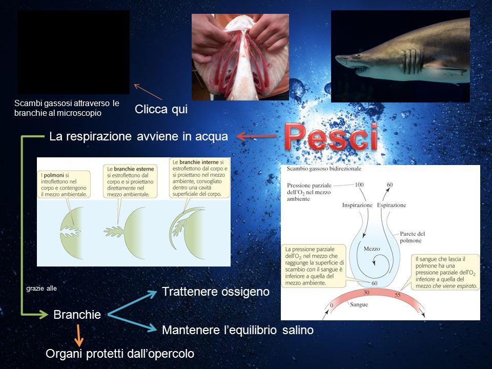 Pesci Clicca qui La respirazione avviene in acqua Trattenere ossigeno