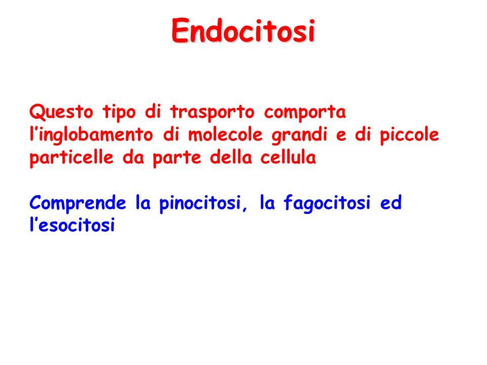 Endocitosi Questo tipo di trasporto comporta l'inglobamento di molecole grandi e di piccole particelle da parte della cellula.
