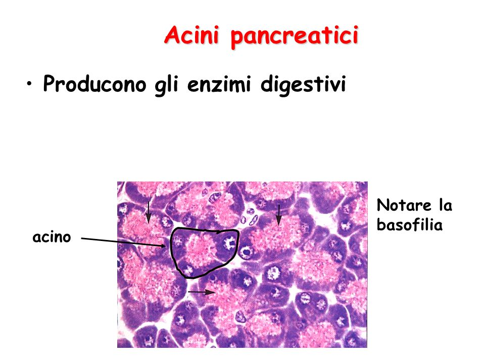 Acini pancreatici Producono gli enzimi digestivi Notare la basofilia