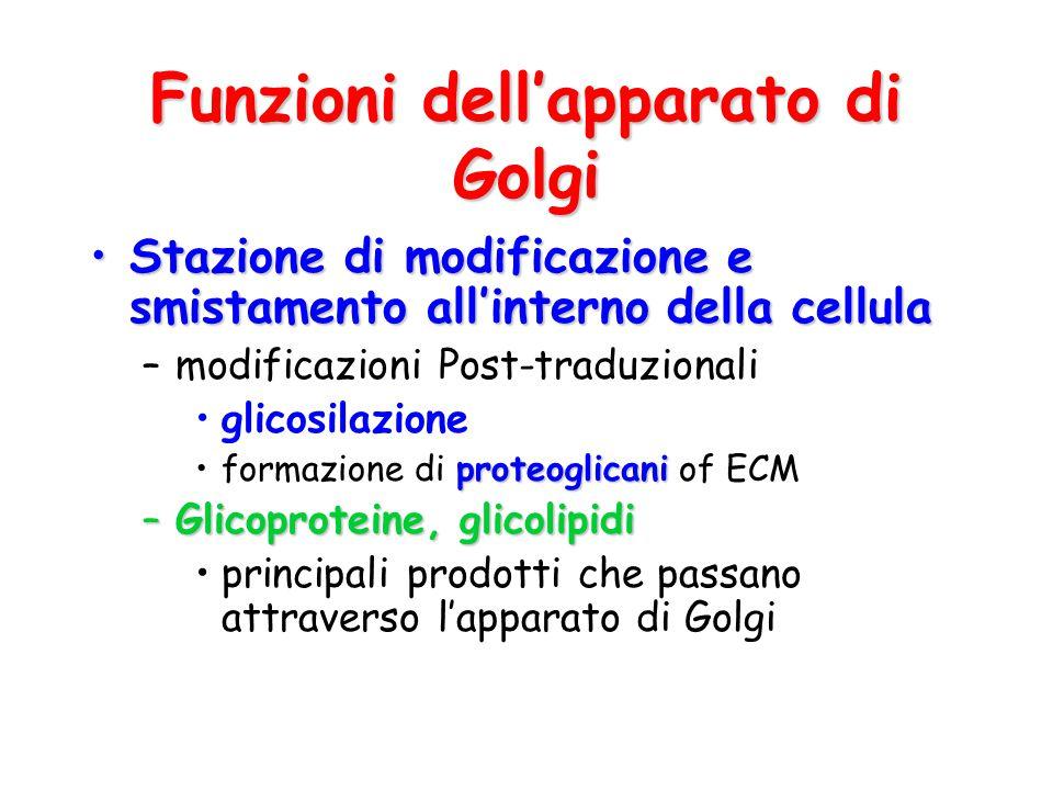 Funzioni dell'apparato di Golgi
