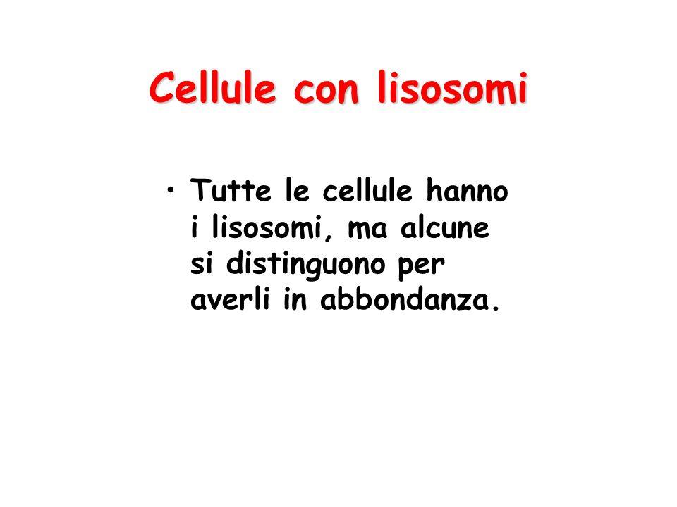 Cellule con lisosomi Tutte le cellule hanno i lisosomi, ma alcune si distinguono per averli in abbondanza.
