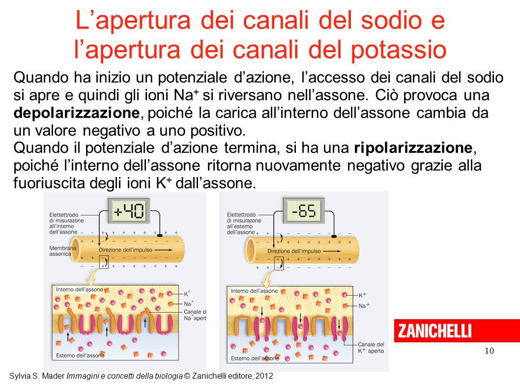 L'apertura dei canali del sodio e l'apertura dei canali del potassio
