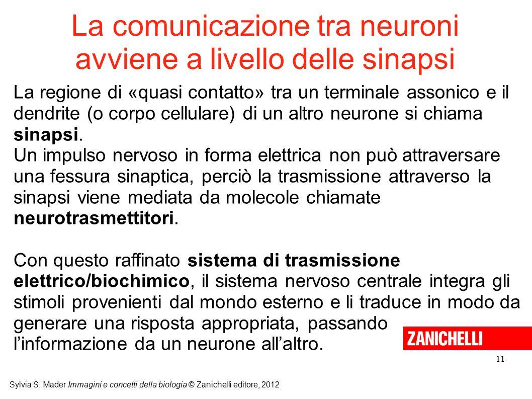 La comunicazione tra neuroni avviene a livello delle sinapsi