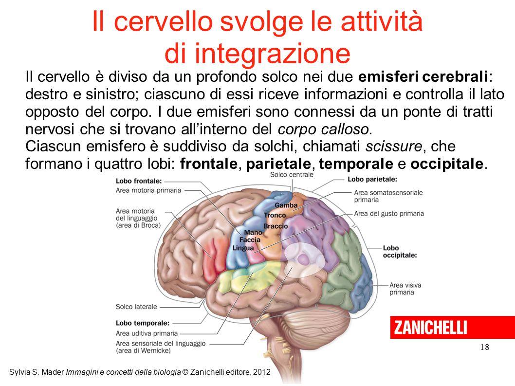 Il cervello svolge le attività di integrazione