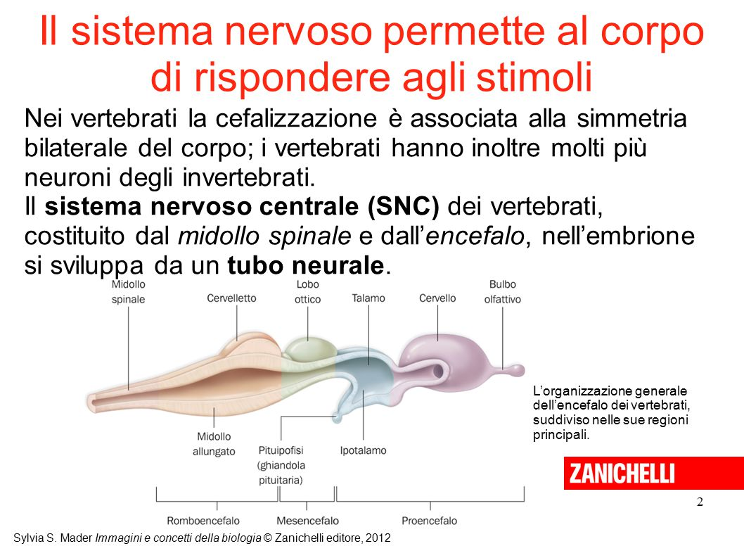 Il sistema nervoso permette al corpo di rispondere agli stimoli
