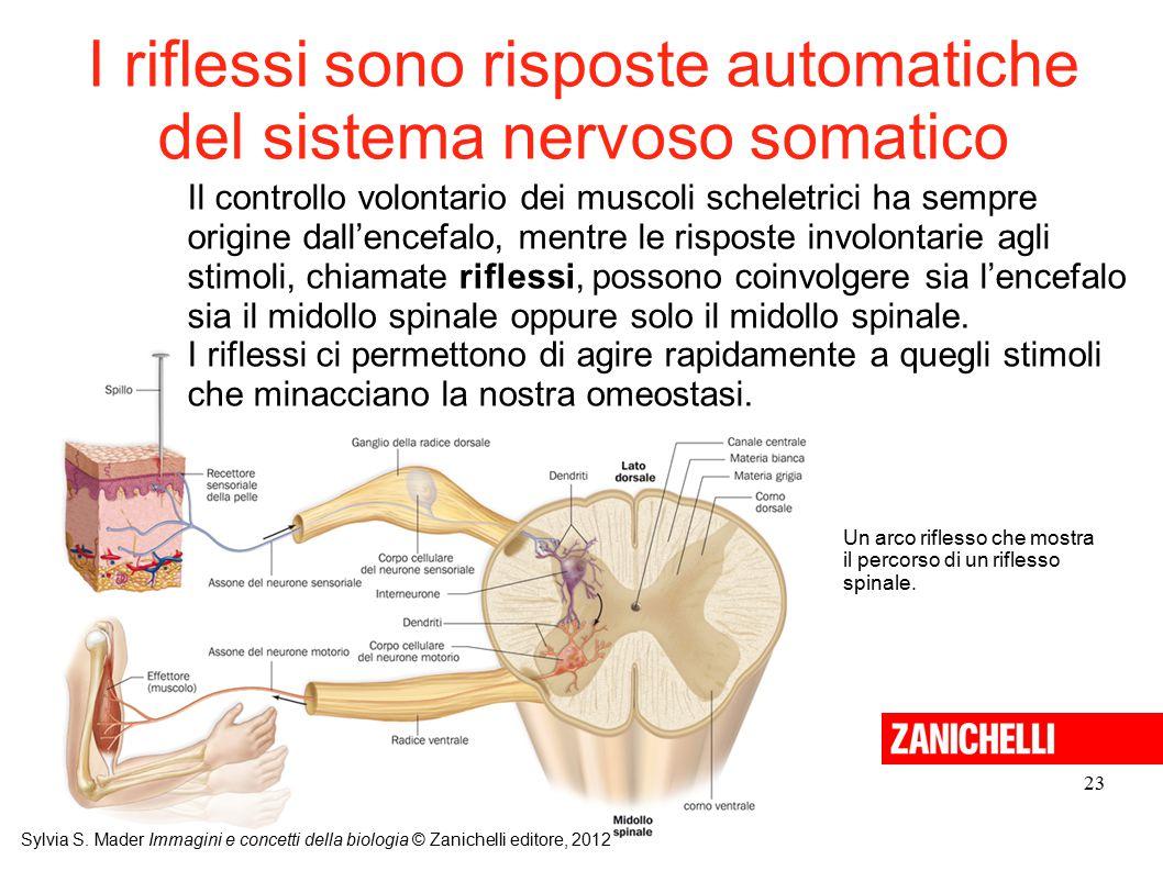 I riflessi sono risposte automatiche del sistema nervoso somatico