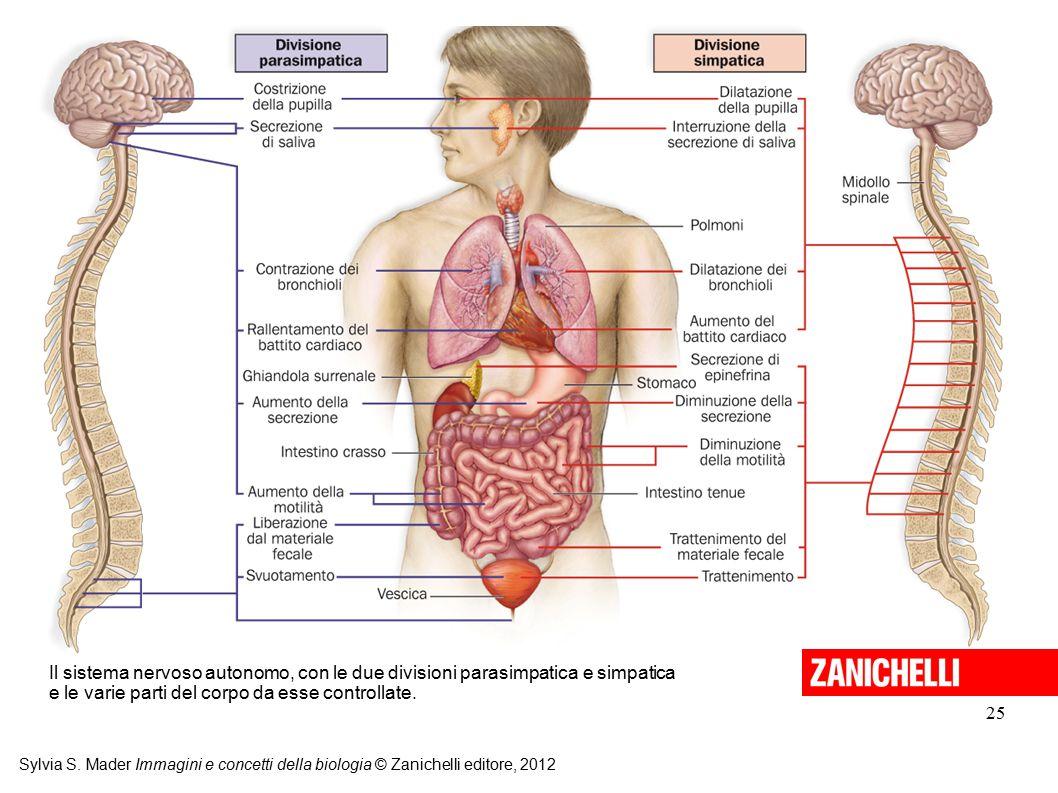 Il sistema nervoso autonomo, con le due divisioni parasimpatica e simpatica e le varie parti del corpo da esse controllate.