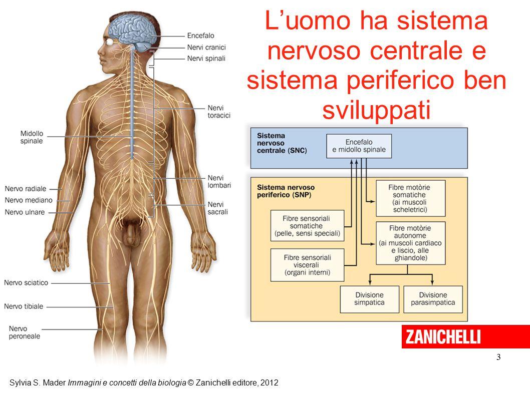 L'uomo ha sistema nervoso centrale e sistema periferico ben sviluppati