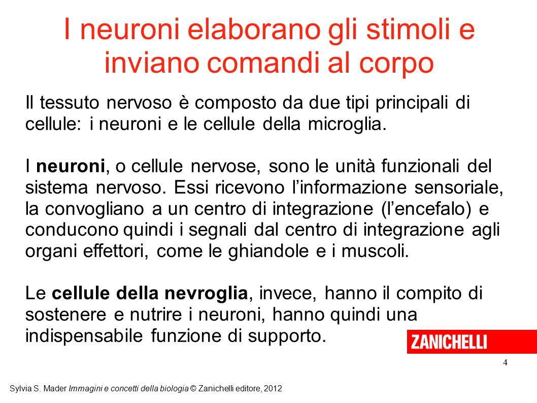 I neuroni elaborano gli stimoli e inviano comandi al corpo