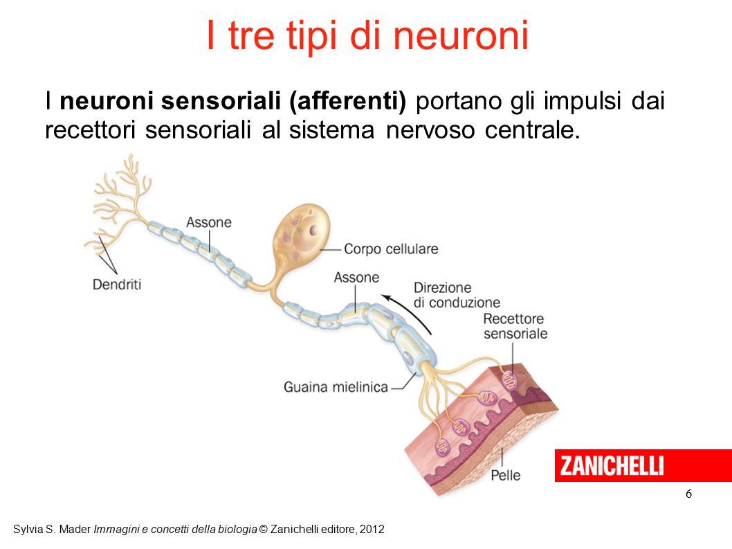 I tre tipi di neuroni I neuroni sensoriali (afferenti) portano gli impulsi dai recettori sensoriali al sistema nervoso centrale.