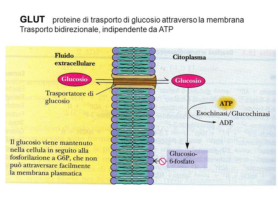 GLUT proteine di trasporto di glucosio attraverso la membrana