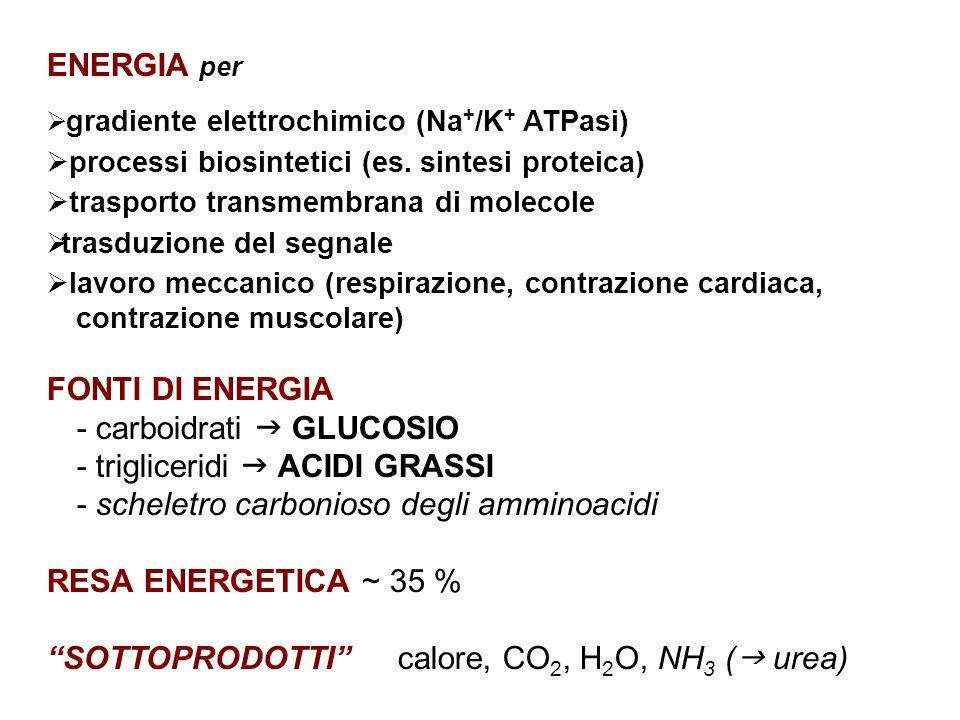 - carboidrati  GLUCOSIO - trigliceridi  ACIDI GRASSI